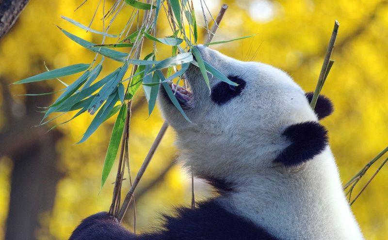 panda sichuan China Chengdu