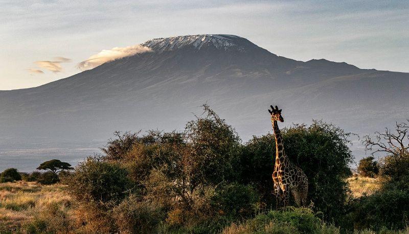 Afrika Kenia bergen giraffe