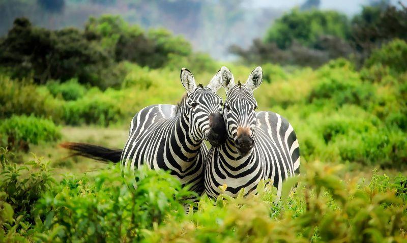 Afrika zebras