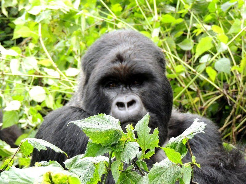 gorilla Rwanda Afrika