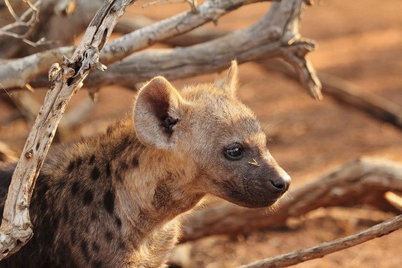 Afrika hyena puppy