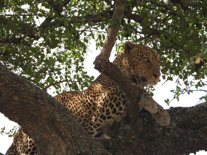 Afrika luipaard leopard