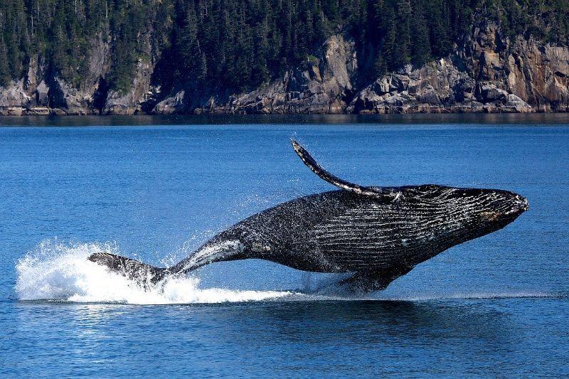 Big mama bultrug walvis
