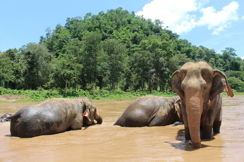 Thaise olifant in het water
