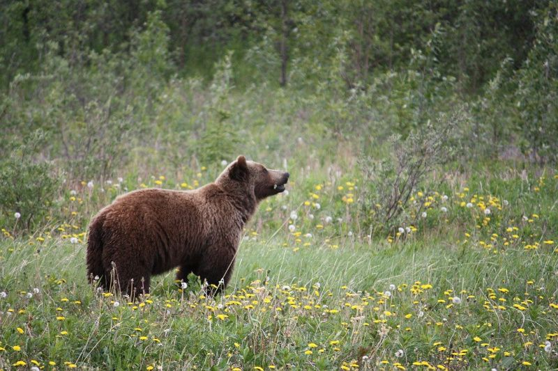 grizzly West Canada