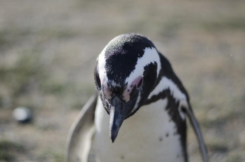 Patagonia Park pinguin
