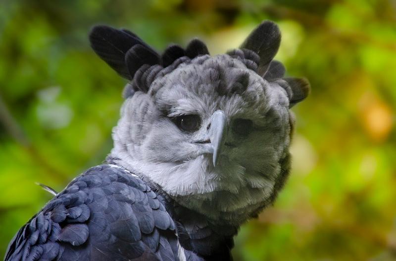 harpij roofvogel