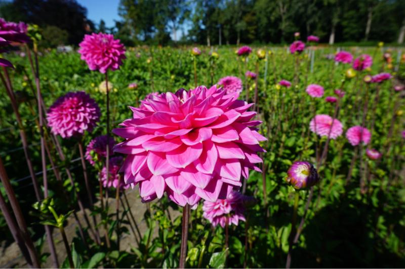 Dahlia's Bloemenstreek Bollenstreek Nederland