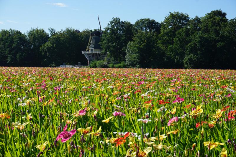Nederland Bollenstreek Bloemensteek Molen Keukenhof
