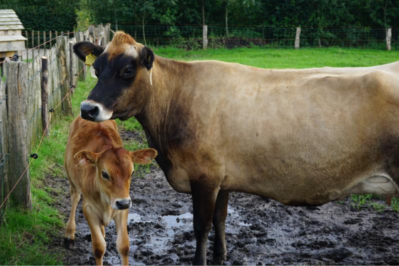 BoerenBed Boerderij de Landhoeve beesten voeren koeien https://www.boerenbed.nl/
