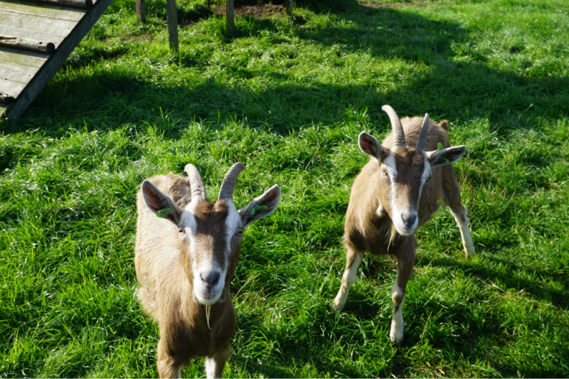 geiten op BoerenBed Boerderij de Landhoeve