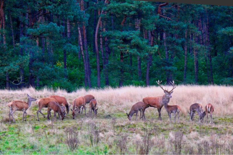 Nationaal Park de Hoge Veluwe herten