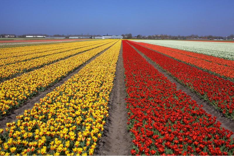 Bloemenvelden tulpen Nederland De Zilk
