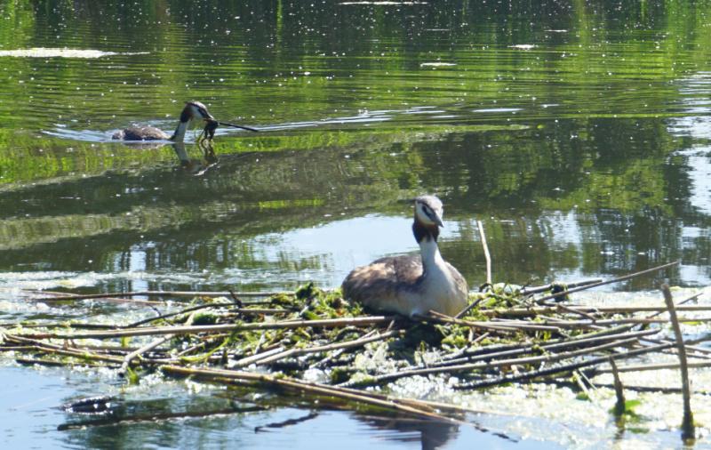 natuur Biesbosch fuut