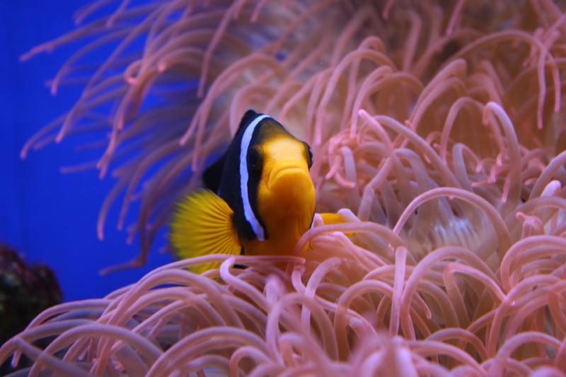 clownfish caribbean