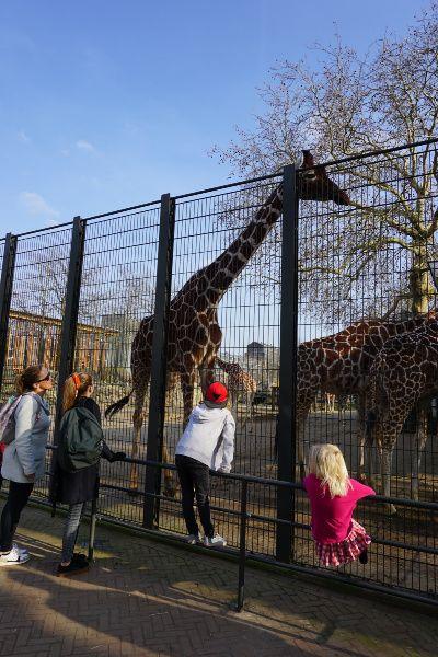 Artis giraffe
