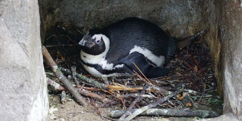 Artis pinguin