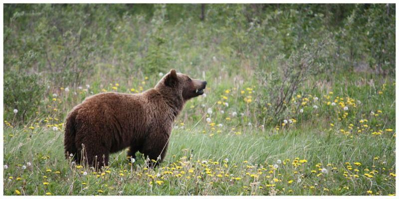 ETA Canada grizzly bear