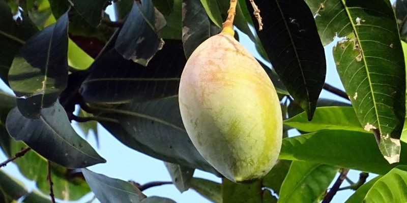 India Karnataka mango