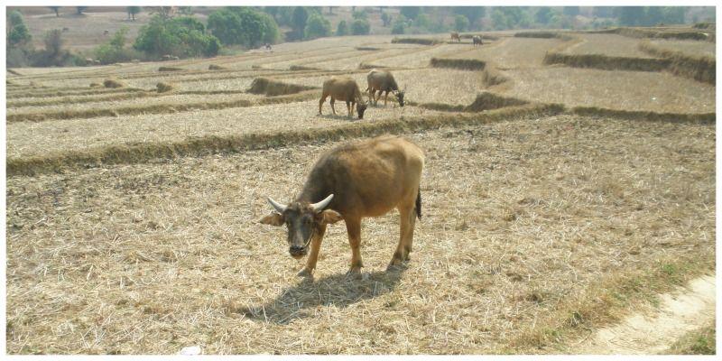 Myanmar Trekking Kalaw Inle Lake waterbuffels