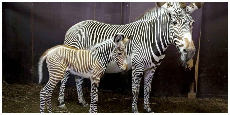 Nederland Amsterdam Artis Edwin Butter zebra