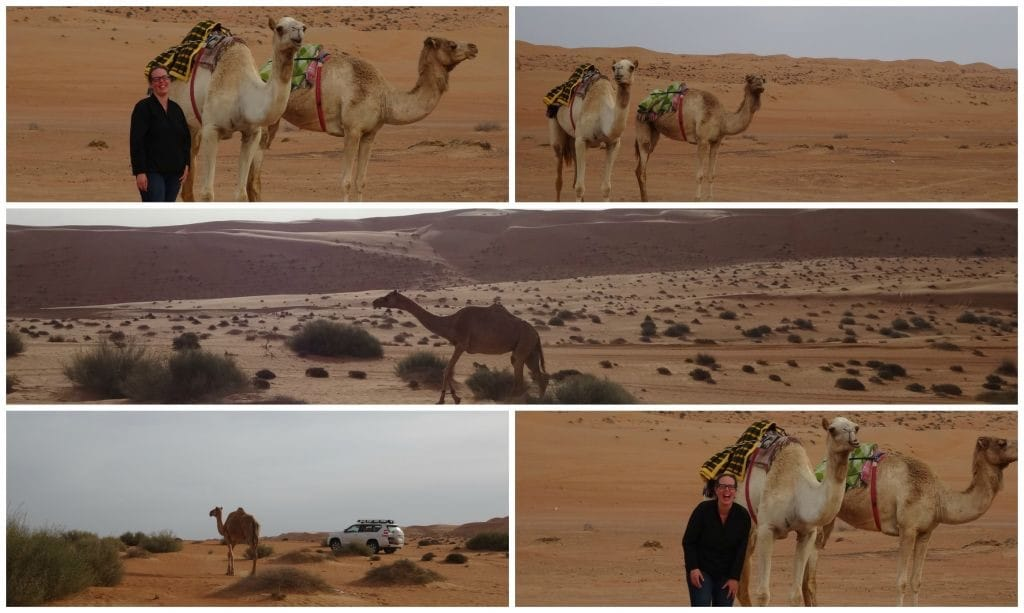 Oman Wahiba Sands dromedarissen
