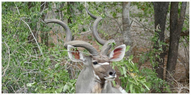 Sable Tours Zuid-Afrika kudu