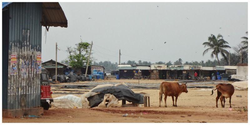 Sri Lanka Fiets Negombo koeien strand