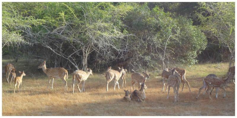 Sri Lanka Wilpattu Wildpark herten