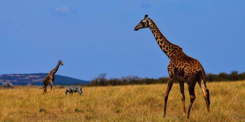 Tanzania Afrika giraffe
