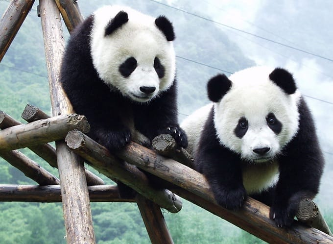 De essentie van Azië Chengdu panda