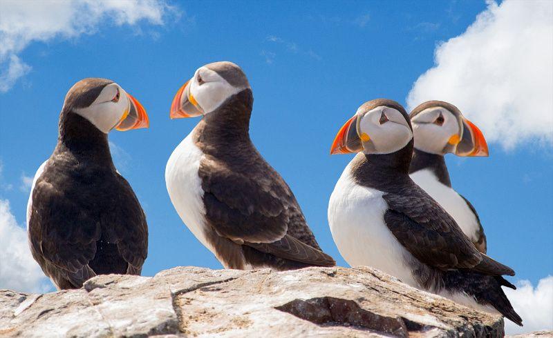 Noord-IJsland papegaaiduikers